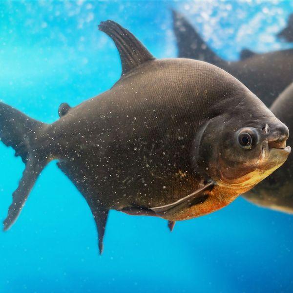 Black pacu fish