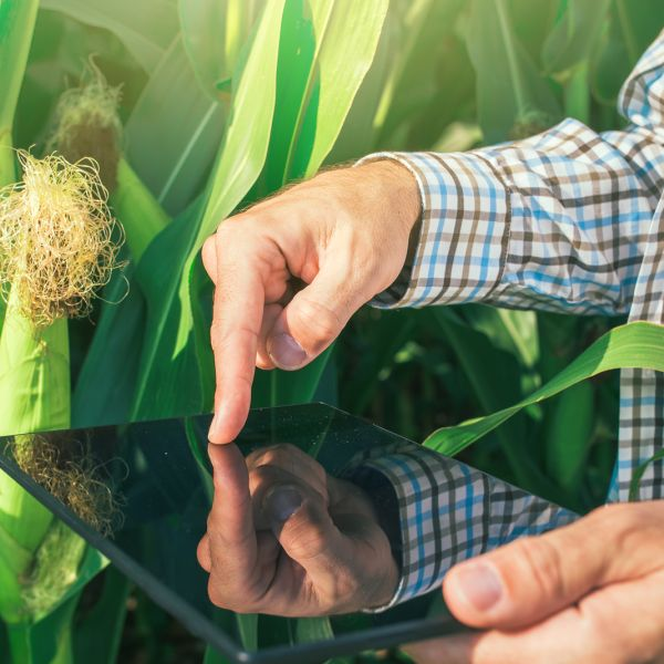 man using iPad in a cornfield