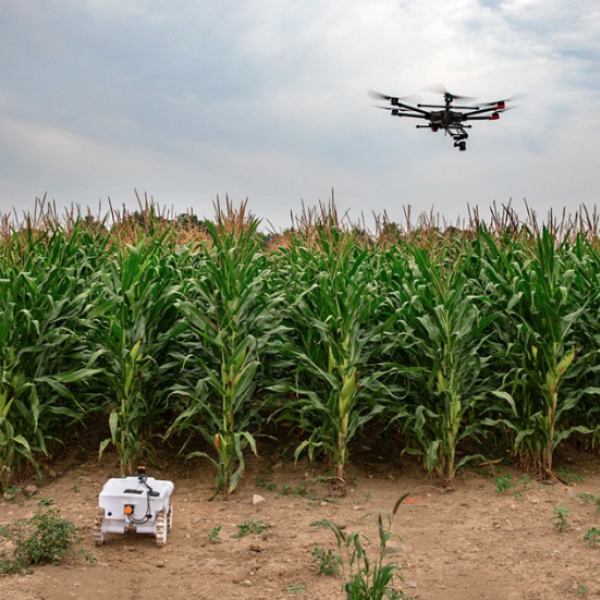 drone over a cornfield